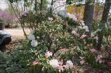 昨年植えたシャクナゲ