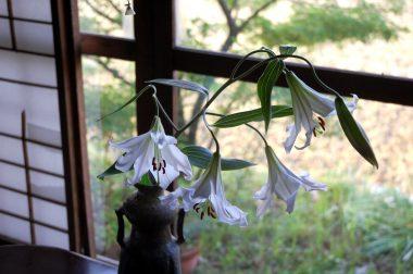 ササユリの花の香りが部屋中に漂う