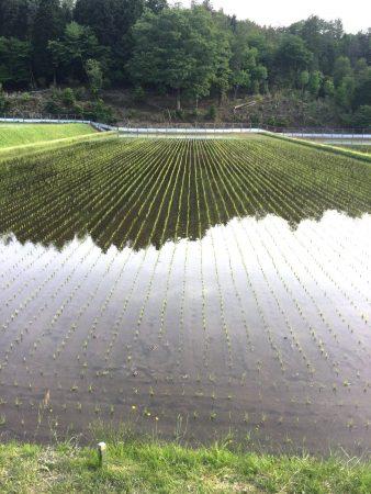 田植が終わったら直ぐに水を入れます