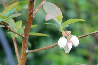 ブルーベリーの実は一度に熟さないので少しづつ収穫です