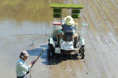 畦際で10枚の苗を載せて植付を始める
