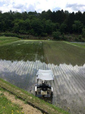 除草機で進むと発生した藻が小さい稲を押し倒す、田んぼの右半分は除草機が通ったところ