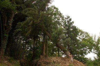 周囲の杉や樫の木を巻き込みながら倒れ始める