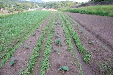 梅雨の雨で里芋も草も急に伸びてきた