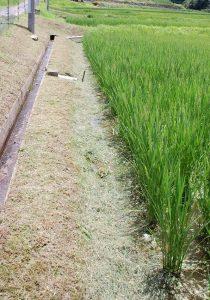 刈った畦草を水際のイボ草に掛ける