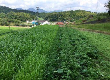 7月16日 里芋の葉が見えないくらいになった草