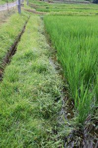畦際から稲に向かっているイボ草