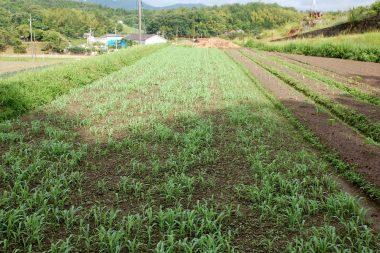 6月28日 播種後土の表面をレーキで均した