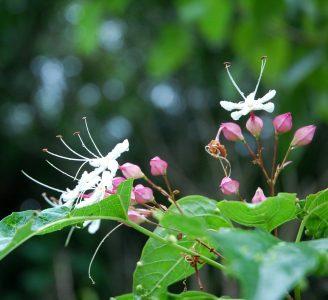花はとっても爽やかな香り、葉はカメムシよりも臭い、食べたらシャリシャリととっても美味しい