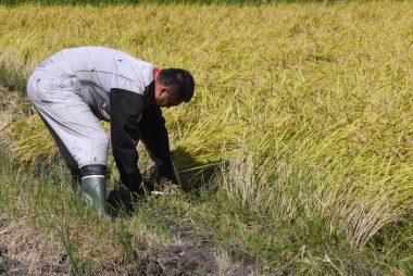 初めての稲刈