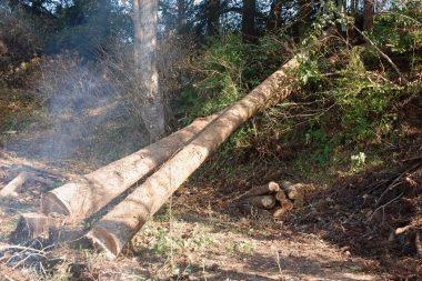 20m以上の長さ 枝を落として定尺にカット