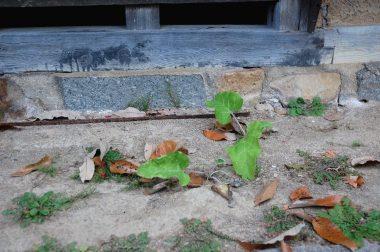 軒下に今年も生えたゴボウ