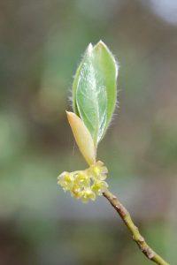 蝋細工の様なクロモジの花