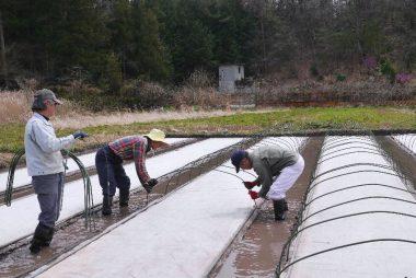 苗箱の上に不織布を敷く アーチパイプを立ててビニールトンネル準備