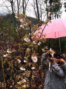 2週間前 兄が植えてくれた桜に花が