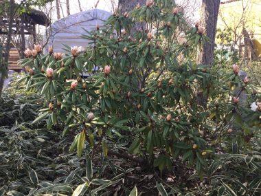 咲き始めたシャクナゲ