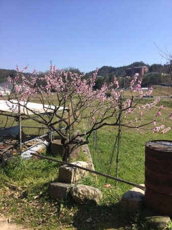 先日から桃の花が満開