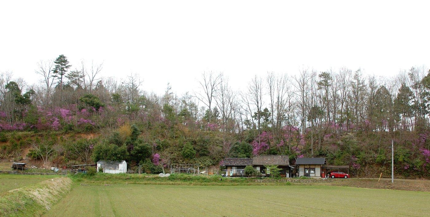 家の裏山がミツバツツジでピンクに