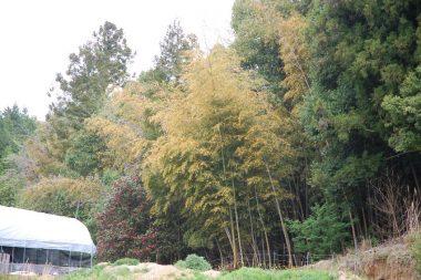 葉がすっかり紅葉した竹の秋