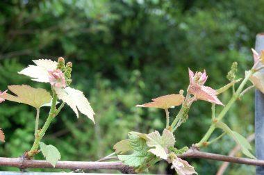ブドウは毎年カラスに食べられる