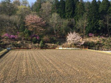 苗代のすぐ下の田んぼ横の山桜