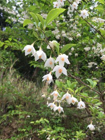 毒性2番目のエゴノキ 樹姿もいいが花もいい