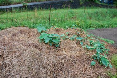 昨年秋から刈り草の中に放ったらかしにしていた里芋