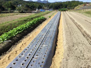 マルチをかけて畝間にモミガラを入れニンニク植付完了
