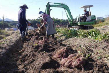 バックホーで畝の土をほぐす、手で芋を取出す