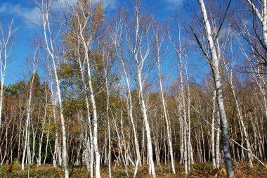 こんな所に白樺林