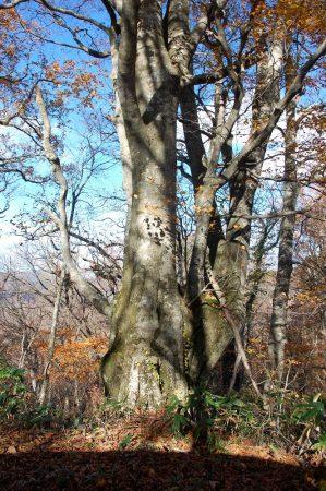 大きなブナの樹に出会う