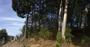 手前の2本と左の墓に近い1本に桧を伐る
