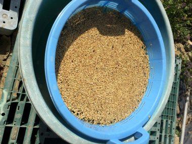 この浮かんだ籾はすくい取って捨てる