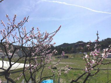 今年は桜と桃が同時に咲いた