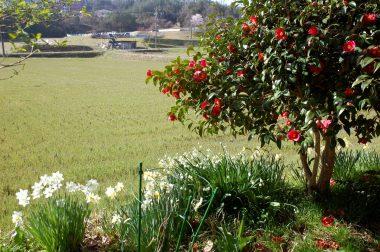 庭の三種類のスイセンと椿
