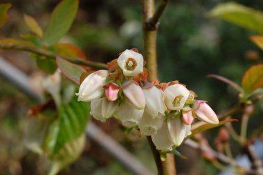 早い種類のブルーベリーが咲いた