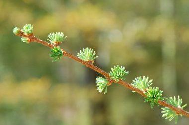 落葉松の新芽(葉)