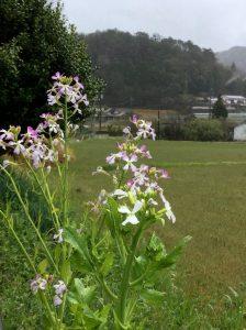 毎年花が咲き種が落ち勝手に生えるを繰り返して十数年食べたら美味い大根