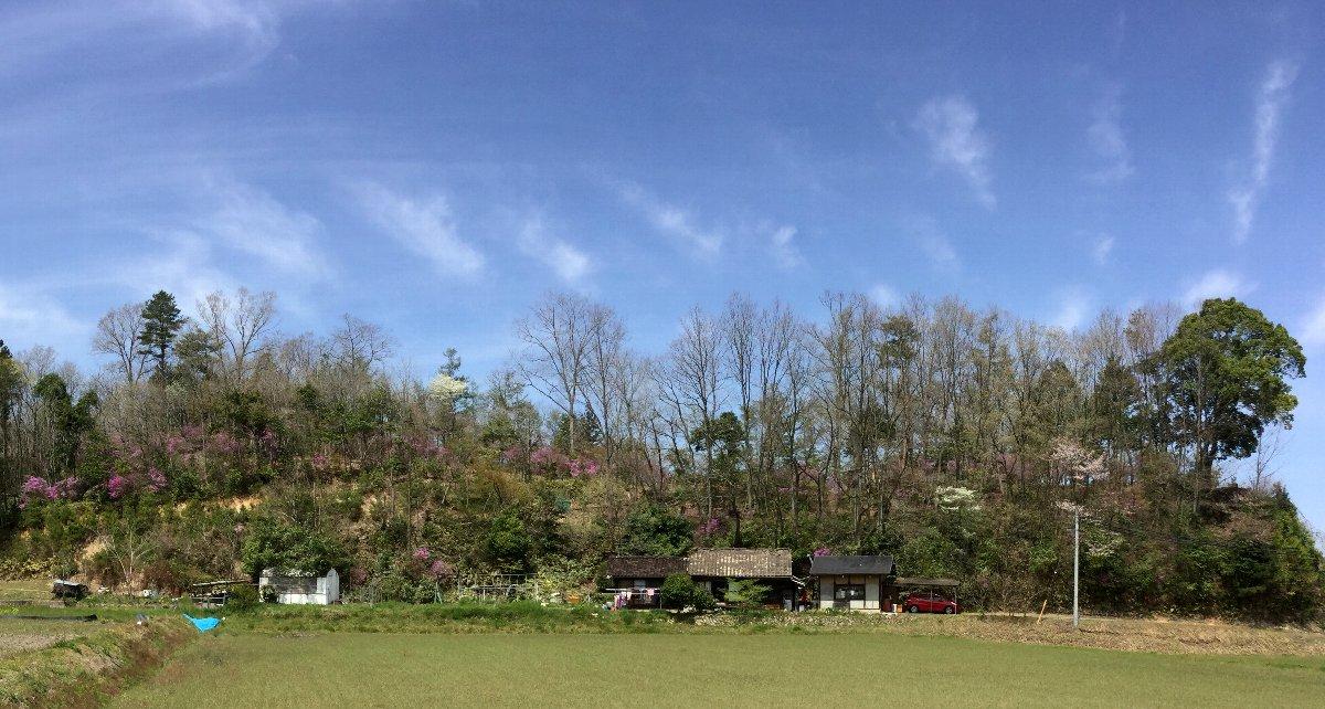 昨日は快晴だったのに今朝起きたら雨 ツツジやザイフリボクの白い花が散るかも タケノコは一気に出てくるかな