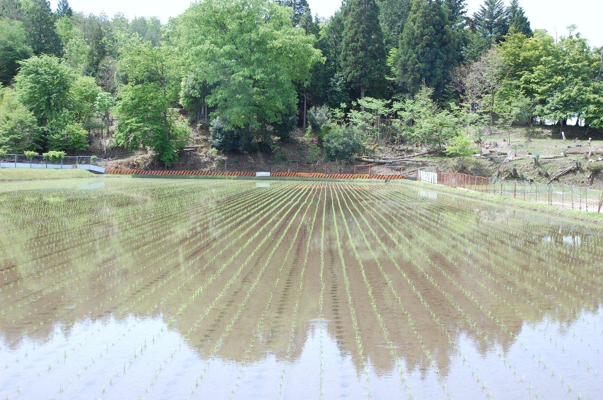 田植の翌朝の様子 苗は8cmで3.5葉