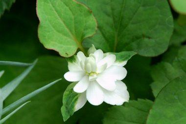 梅雨時期になると庭のドクダミ草に花が咲く
