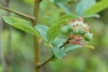 3本のブルーベリーの樹があってうちでは一番早い品種