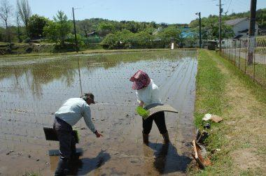 田植機で植えれなかった所を捕植する