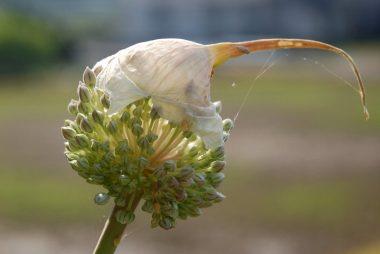 今朝(6月9日)、ニンニク坊主の皮が破れて中からたくさんの花が