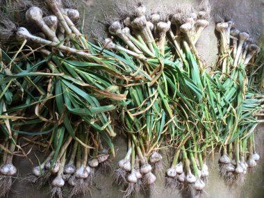 このまま吊るして自然乾燥するのと茎や根を切るのと2方法で乾燥します