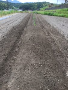手前には種芋を埋めた、向こうは葉が出たのを移植した