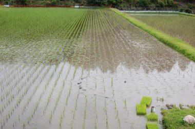 16条ほど除草し稲の倒れがひどいので止めた