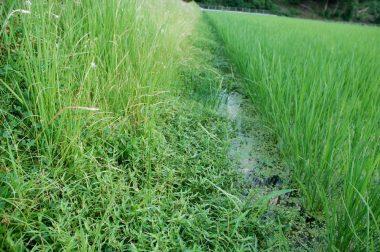草刈り前 アゼ際から稲に向かって草が伸びている