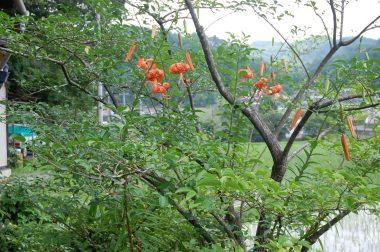 ネムの花が終わりオニユリが咲くといよいよ夏かな