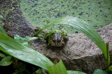 カエル 雨が降ったら水から出て雨宿り